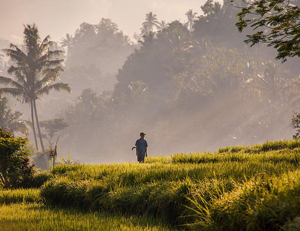 A farmer in the rice fields on a early morning in Sidemen - Bali
