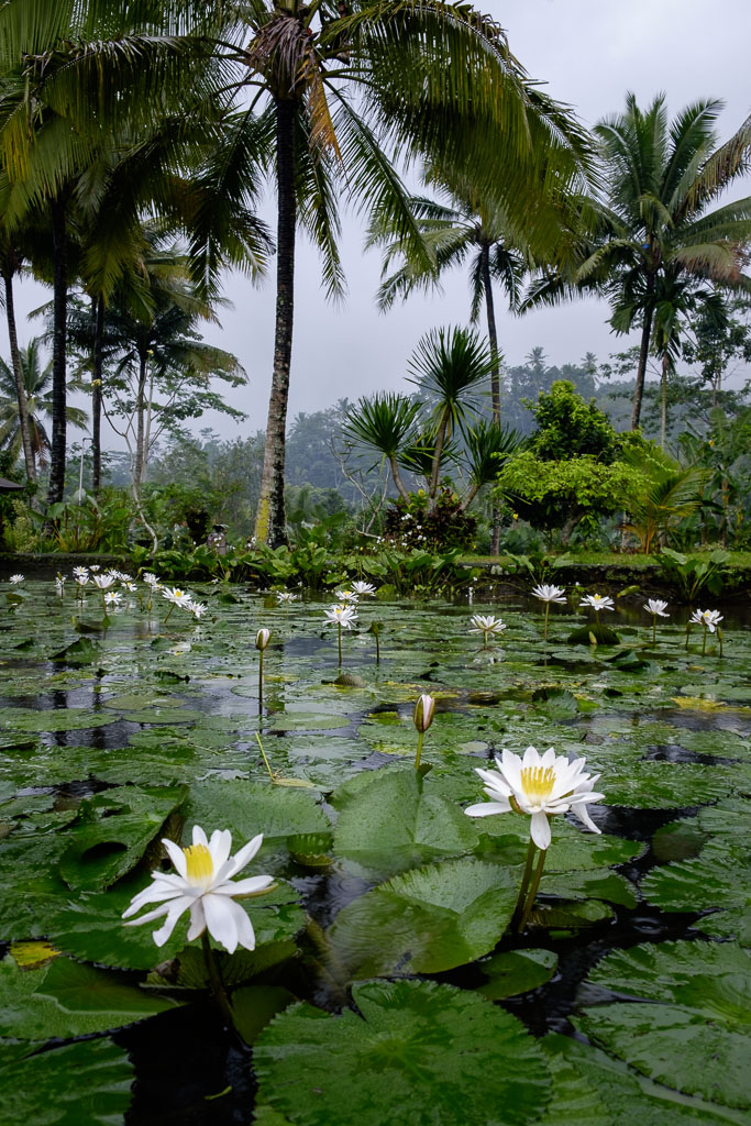 Lotus flowers on a pond while it is raining - Sidemen - Karangasem Regency - Bali